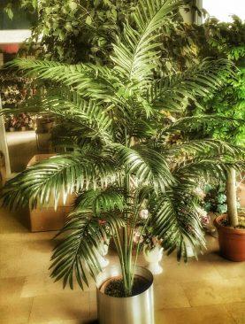 Sikas Ağacı