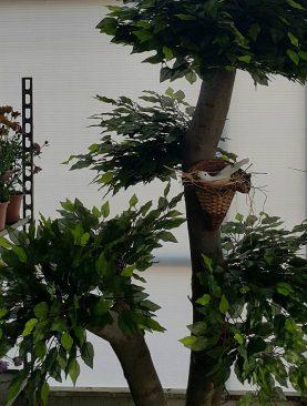 Ficus ağacı